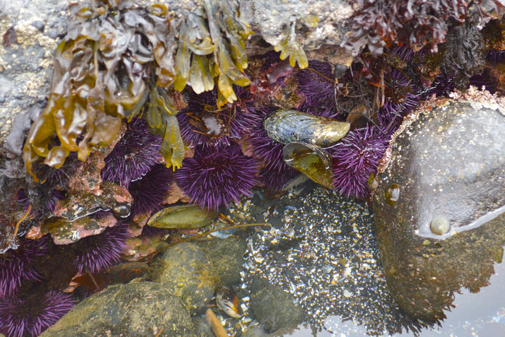 Oregon coast family vacation and tide pools with sea urchins - Mommy Scene