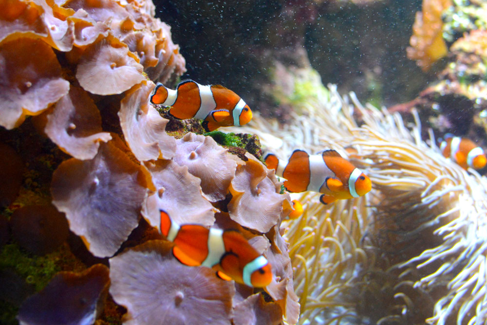 Clown fish at the Vancouver Aquarium - Mommy Scene