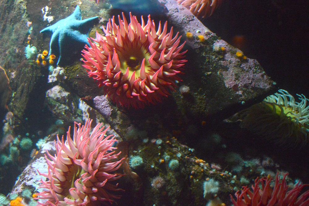 Sea Anemones at the Vancouver Aquarium - Mommy Scene