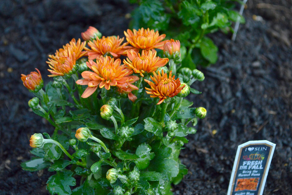 Planting orange mums for fall - Mommy Scene