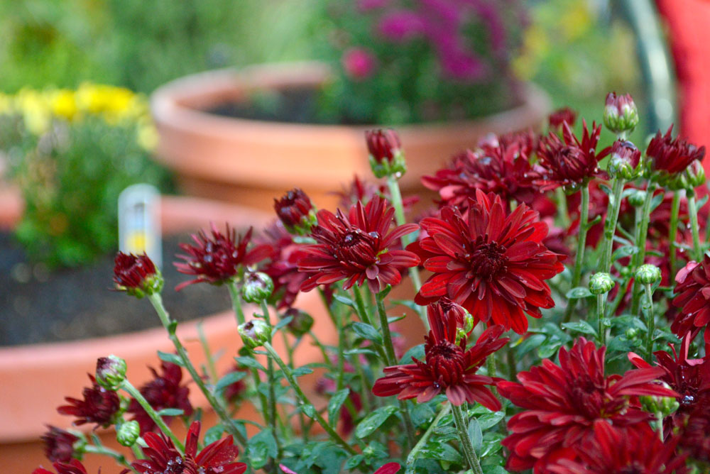 Planting red mums for fall - Mommy Scene
