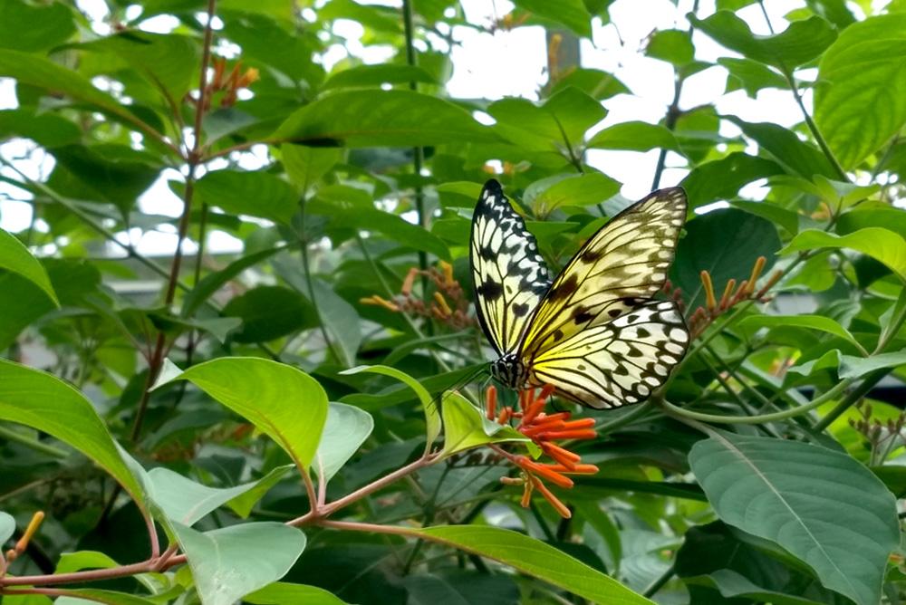 Butterflies help your garden flowers grow