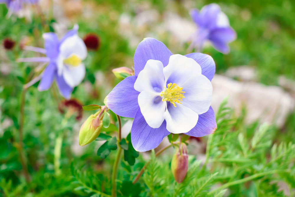 Beautiful and wild columbines in Beautiful mountain views in Ouray Colorado mountains