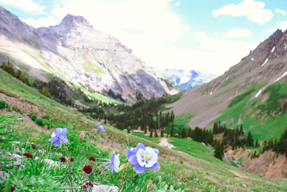 Beautiful columbines and mountain views in Ouray Colorado