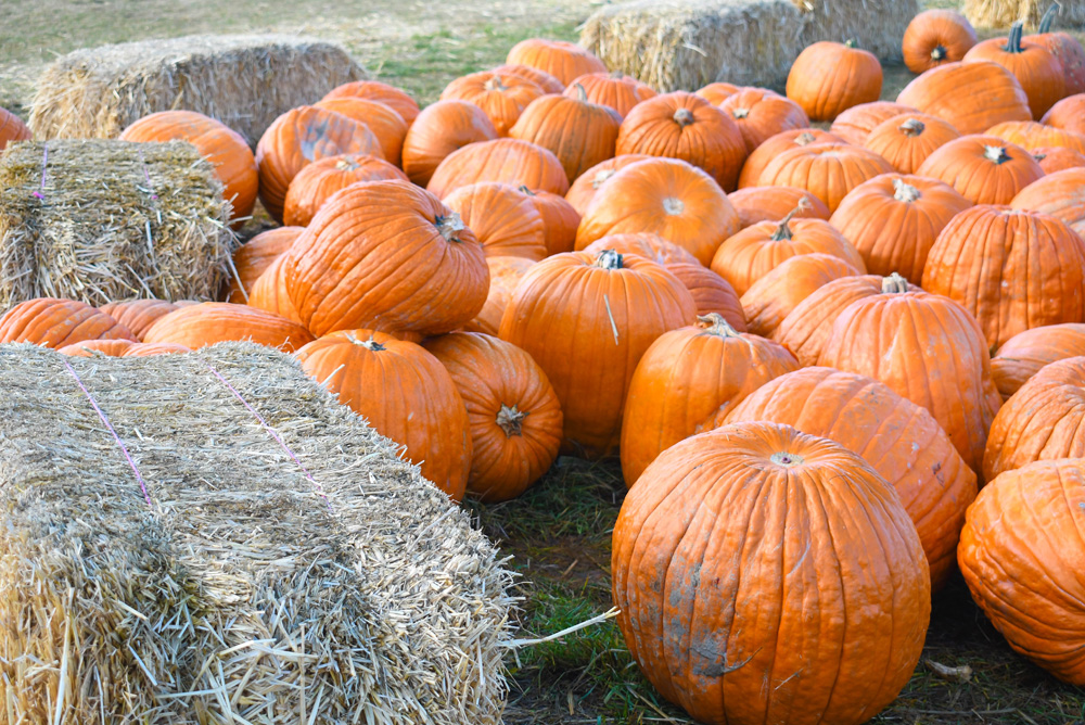 Green Bluff Becks Harvest House Pumpkin Patch - Things To Do at Your Local Pumpkin Farm