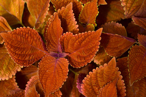coleus plant fuzzy orange leaves stock photo