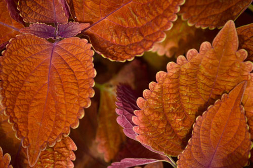 coleus plant fuzzy orange leaves, royalty free stock photos