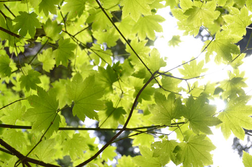 royalty free leaves stock photo, sun through the leaves