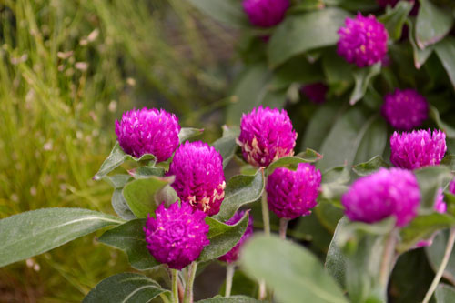 free purple clover stock photo, purple clover texture, purple clover in nature