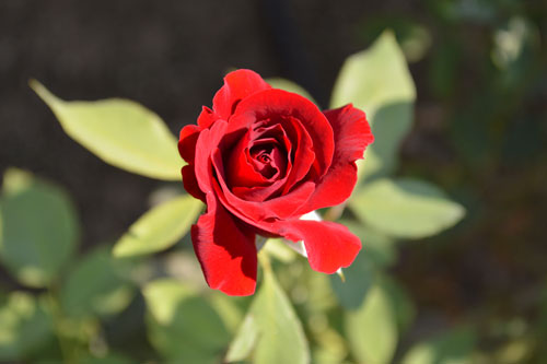 royalty free red rose photo, red rose stock photo