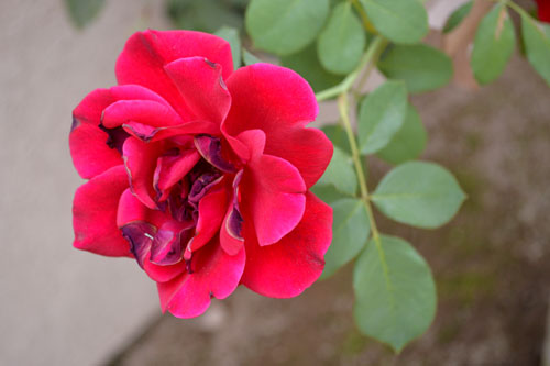 free red rose stock photo, red rose background