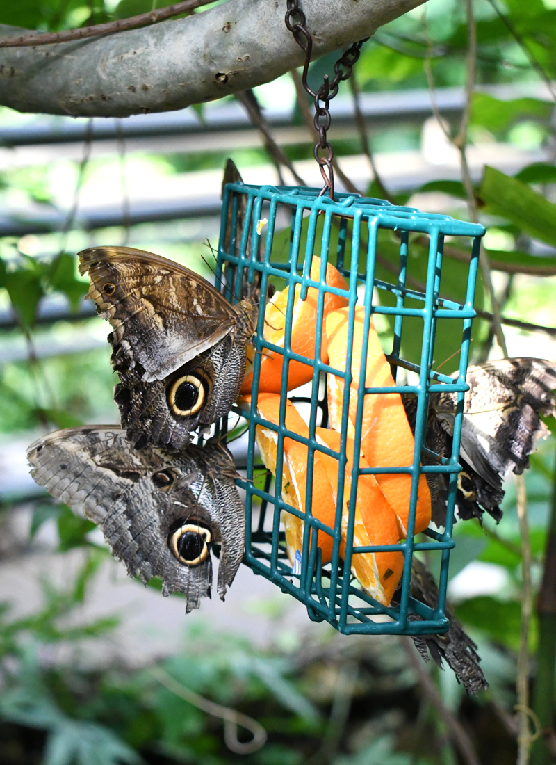 The Denver Butterfly Pavilion is a great place to see butterflies up close