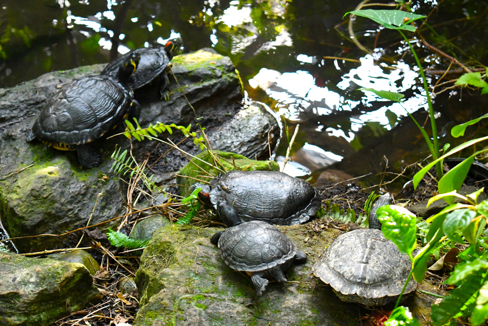 Denver Butterfly Pavilion - family of turtles