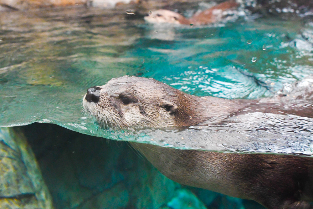 Playful otters at the Denver Aquarium