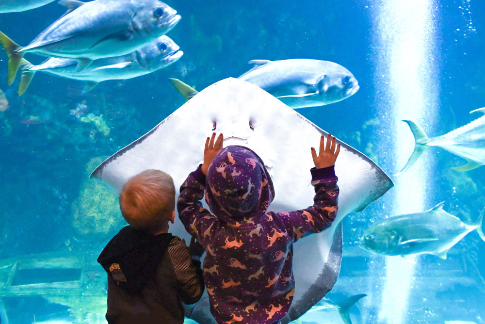 Sting rays at the Denver Aquarium - Things to do with kids in Denver