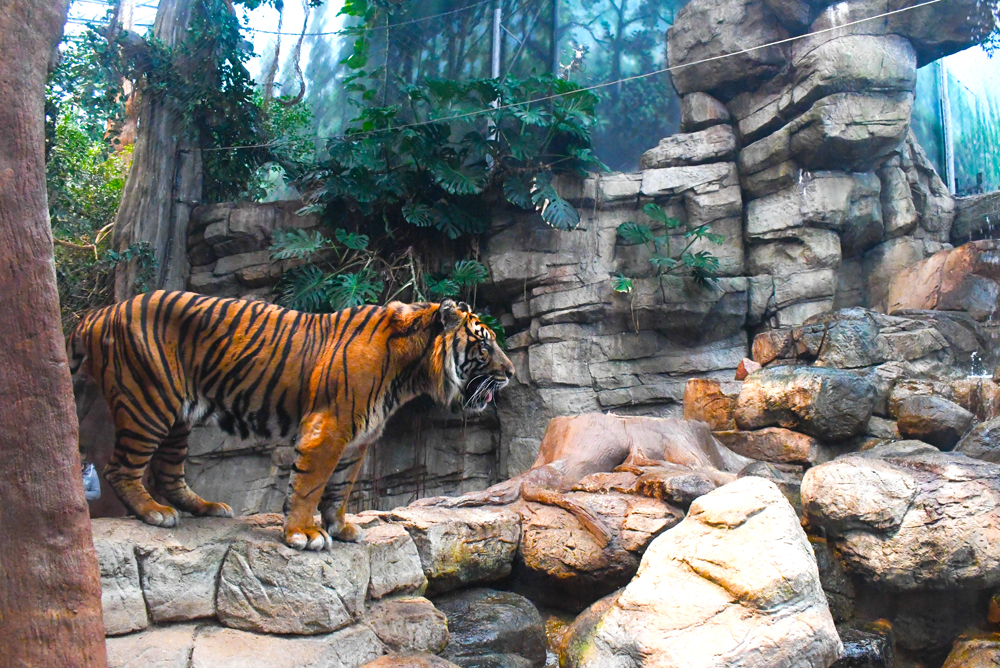 Visit the tiger exhibit at the Denver Aquarium - Things to do with kids in Denver