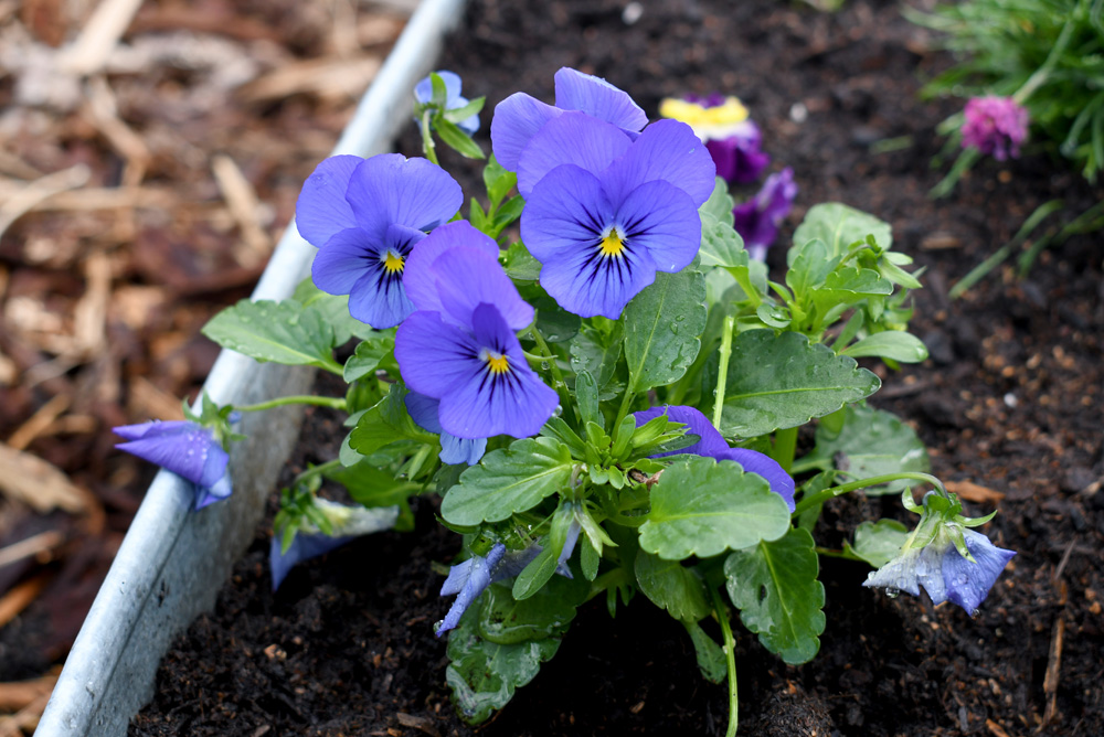 Pansies can survive the frost, pretty flowers to plant in Coeur d'Alene Idaho