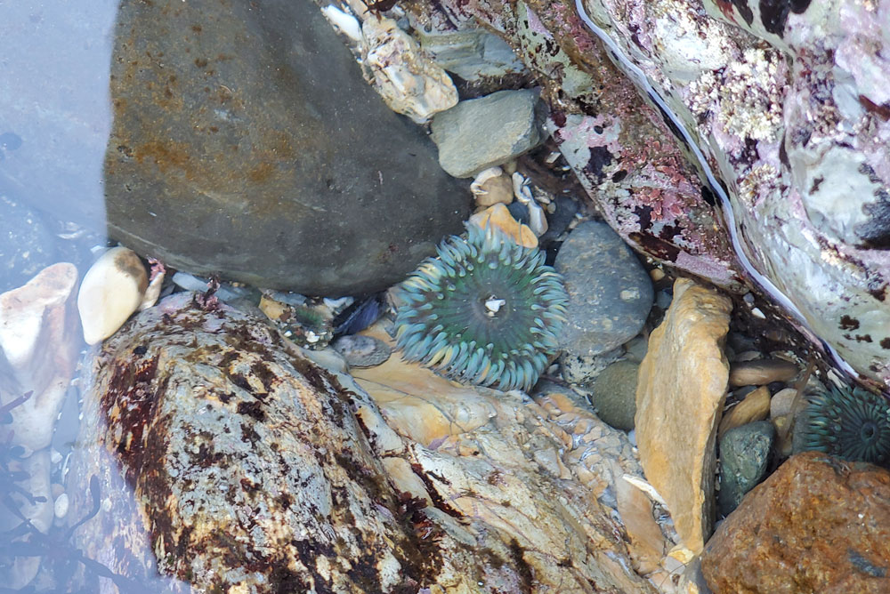 Margo Dodd Park Beach sea anemone